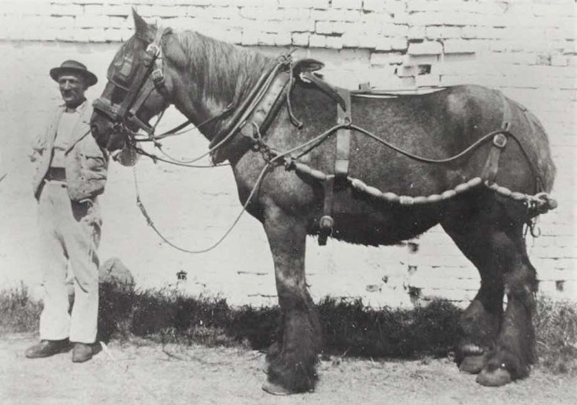Standard horse type